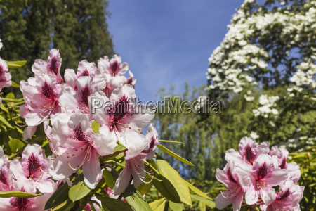 pink rhododendrons against a background of