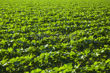 cotton plants at mid square setting