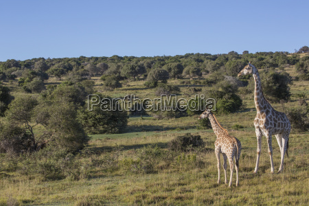 mother and baby giraffe south africa