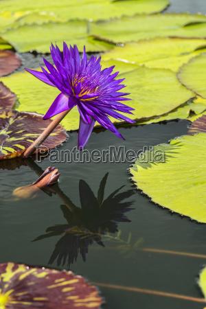 tropical waterlilies tanzanite nymphaea nymphaeaceae new