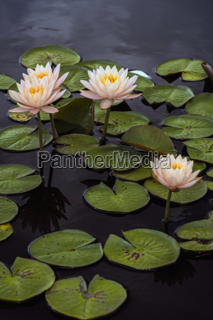 hardy waterlilies clyde ikins nymphaea new