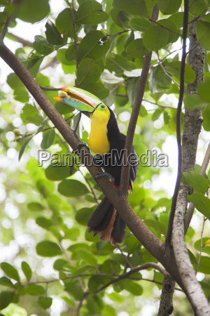 keelgefuellter toucan ramphastos sulfuratus mit nut