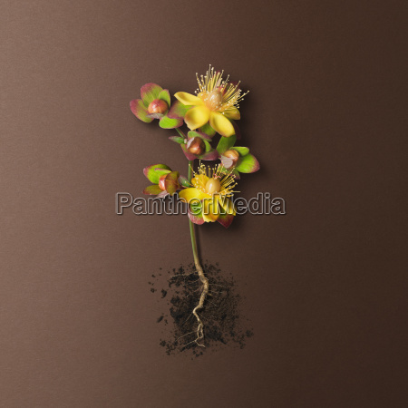 plant with yellow flowers red and