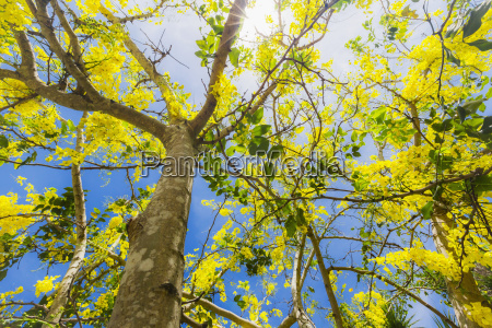 this yellow flowering tropical tree blooms