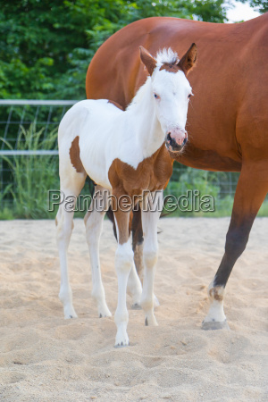 the foal white brown spots standing