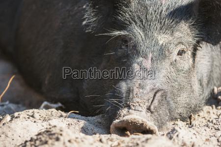 close up of a wild hog