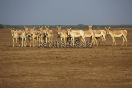 herd of khur indian wild ass