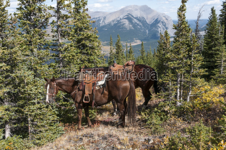 horses with saddles tied to trees