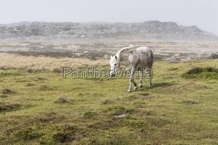 a wild white horse walking in