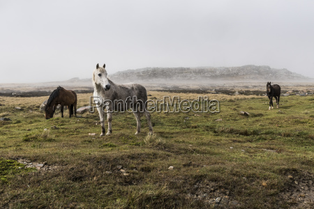 wild horses standing in a foggy