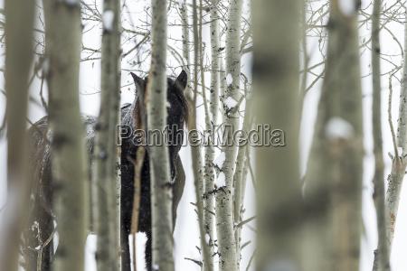 wild horse hiding in trees turner