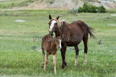 wild horses theodore roosevelt national park