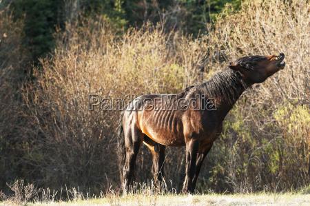 wild stallion curling lip sundre alberta