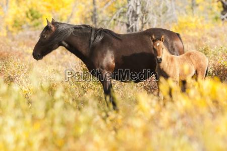 wild mare and foal sundre alberta