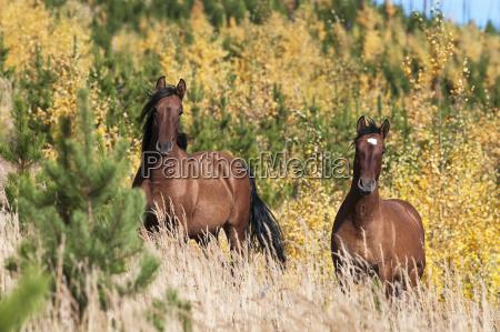 wild horses sundre alberta canada