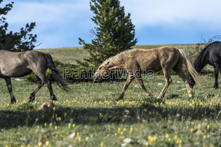 wild horses pryor mountains wild horse