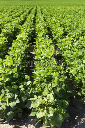 close up of rows of potato