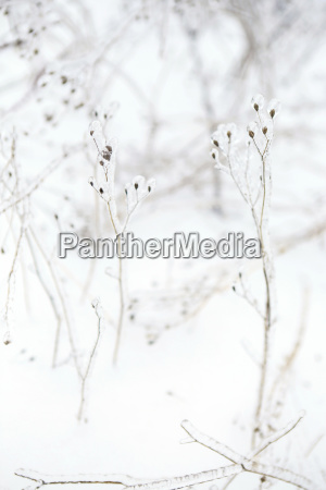 tall spindly plants covered in ice