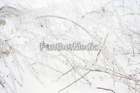 grasses and plants covered with ice