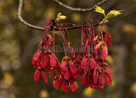 spring red maple seeds and new