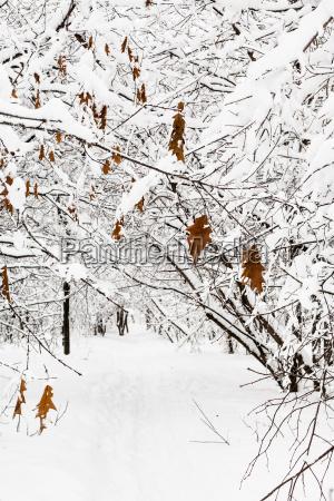 tiefgefrorene ahornblaetter auf schneebedeckter branche