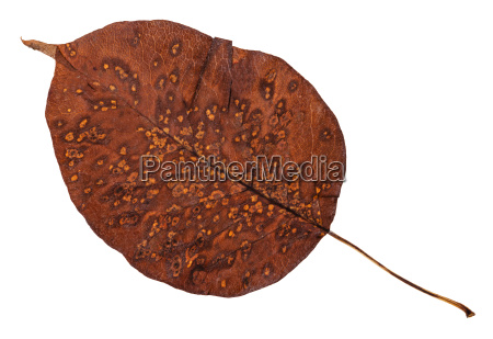 decayed autumn leaf of pear tree