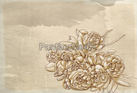 blume rose pflanze blumen botanik gaensebluemchen