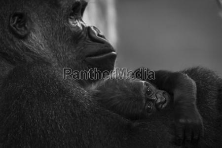 western lowland gorilla baby gorilla gorilla