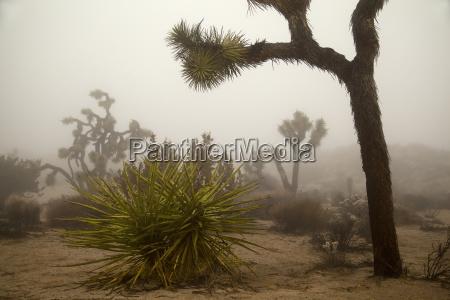 desert landscape with joshua trees yucca