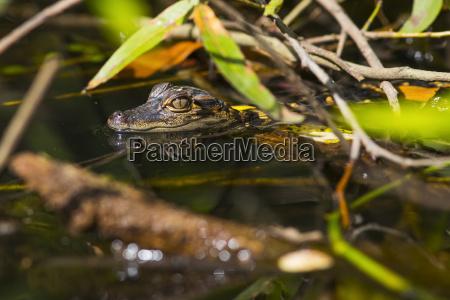 a wild american alligator alligator mississippiensis