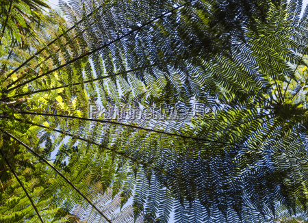 tree ferns viewed from below with