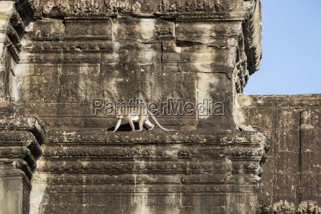 monkey on the ruins angkor wat