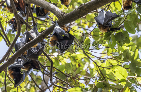 fruit bats in trees siem reap