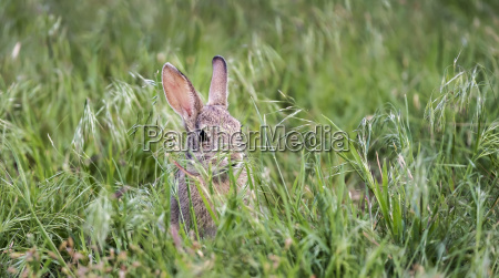 a wild rabbit eastern cottontail sylvilagus