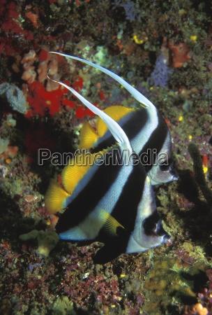 tier schmetterling fisch unterwasser senkrecht westen