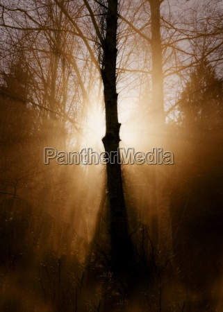 woodland tree in silhouette