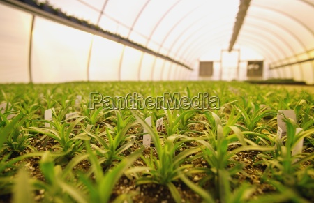 commercially grown plants in a greenhouse