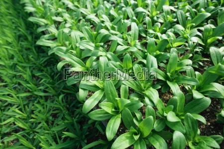 commercially grown plants