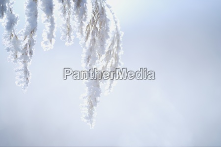 hoarfrost on plant