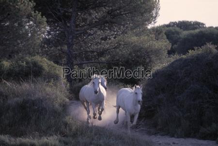 wild white horses running through forest
