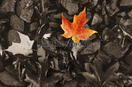 coloured maple leaf on black and