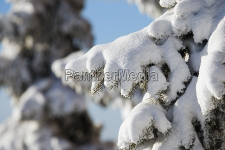 closeup of fresh snow on branches