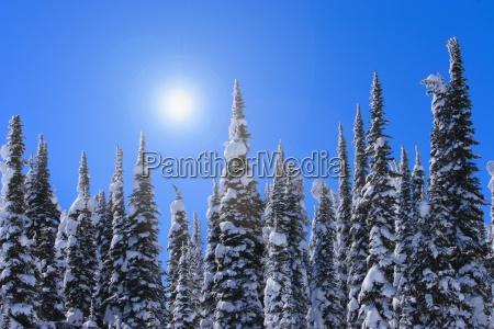 hohe immergruene baeume mit schnee gegen
