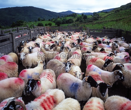 bonane schafe county kerry irland