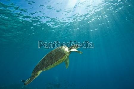 green sea turtle mabul island sabah