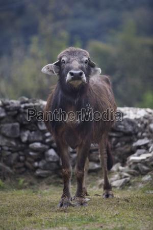 water buffalo in nepal asia