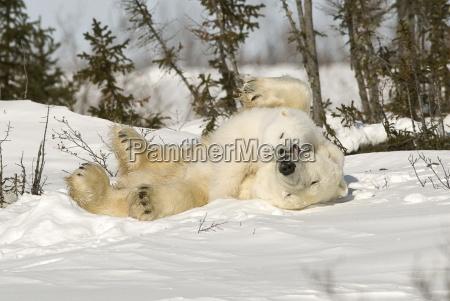 polar bear rolling with cub in