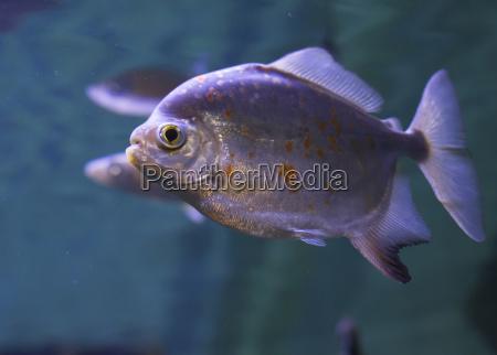rothellied piranha