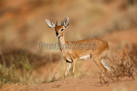 maennliche steinbockantilope