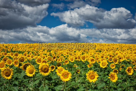 sunflowers with spring clouds
